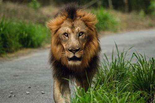 wildlife lion walking on road lion