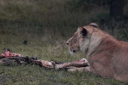 mammal lioness beside flesh lion