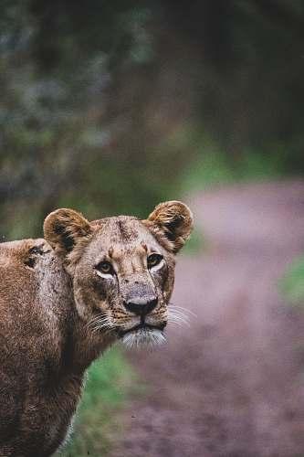 mammal lioness near trees lion