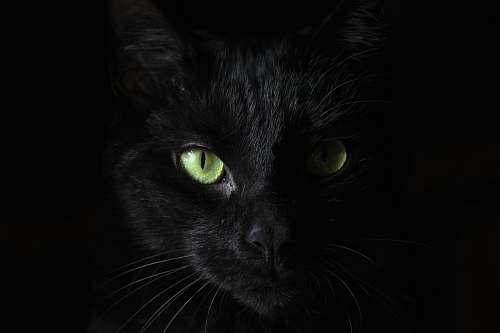 cat macro photography of black cat black