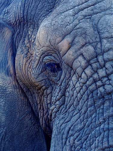 wildlife macro photography of elephant's face elephant