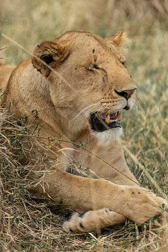 mammal macro photography of lioness lion