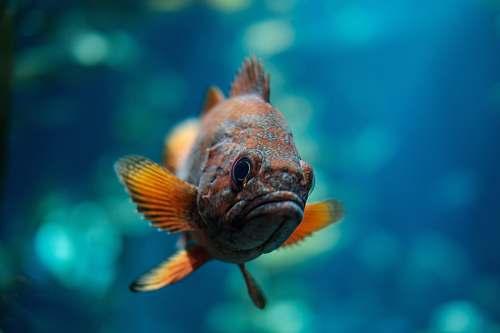 fish macro shot of orange and brown fish underwater