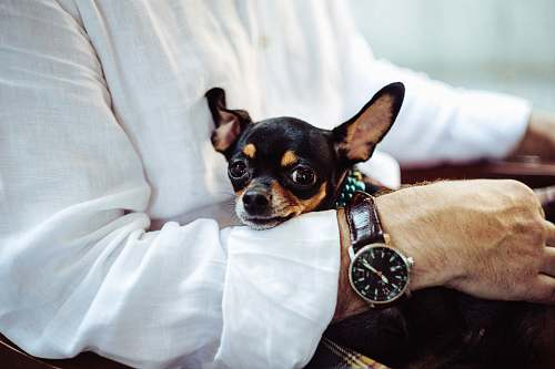dog man in white dress shirt wearing round analog watch with brown leather bracelet holding black chihuahua during daytime pet
