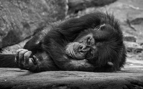 black-and-white monkey lying on surface mammal
