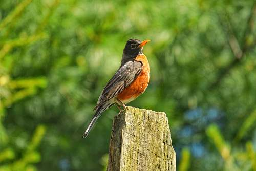 bird orange and black hummingbird robin