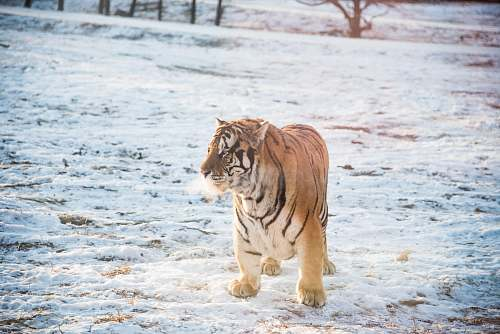 wildlife orange and black tiger standing outdoors tiger