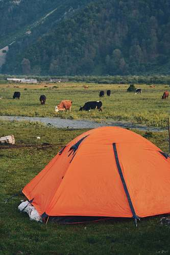 cow orange camping tent cattle