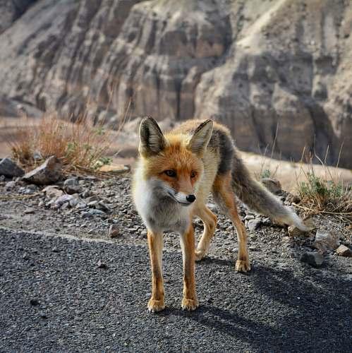 wildlife orange fox fox