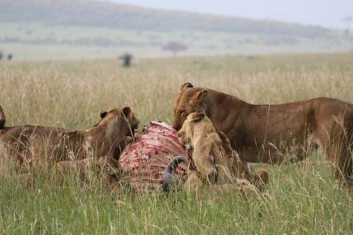 mammal pack of lion eating lion