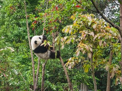 mammal panda climbing on tree during daytime giant panda