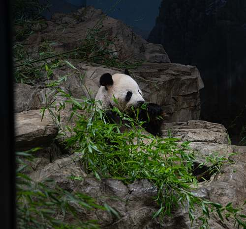 bear panda eating grass giant panda