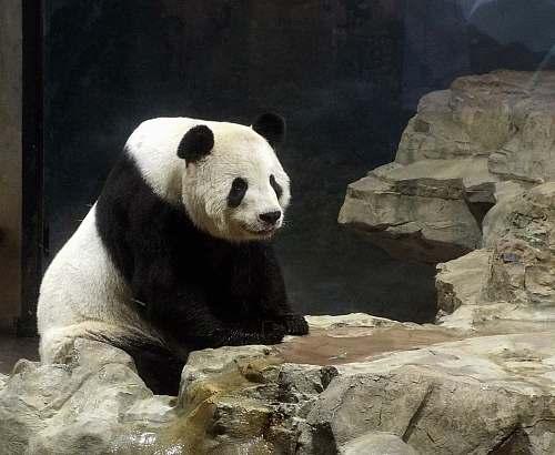 bear panda on rock giant panda