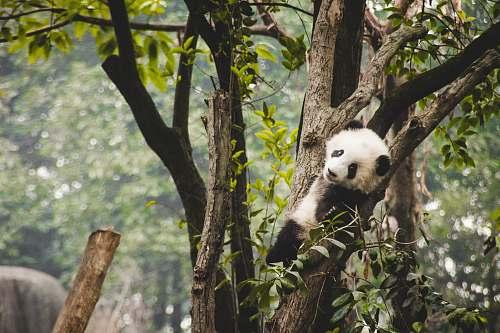 bear panda on tree giant panda