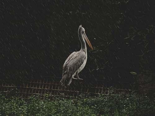 bird pelican on wooden frame stork