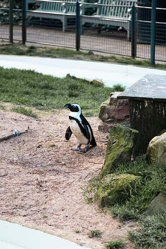 bird penguin near moss covered rock penguin