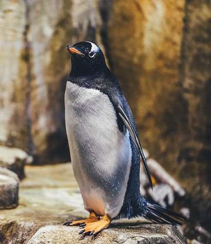 bird penguin on rock penguin