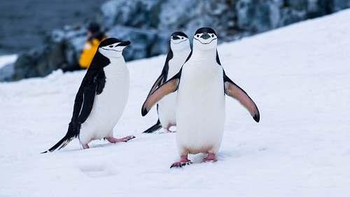 bird penguins on snow covered fields during daytime penguin