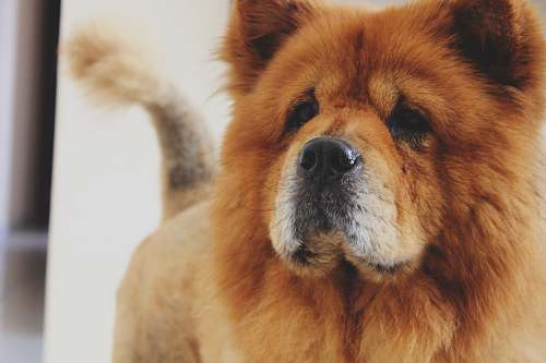 dog photo of adult brown Chow Chow pet