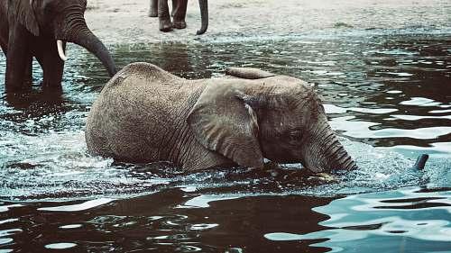 mammal photo of black elephant swimming on body of water elephant