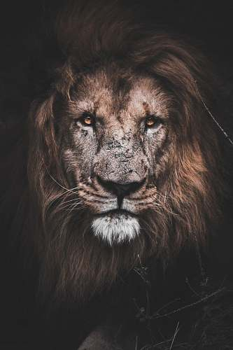 lion photo of brown lion mauritius