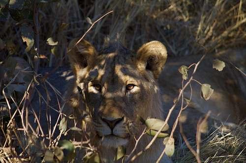 mammal photo of brown tigress lion