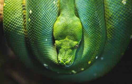 reptile photo of green viper snake