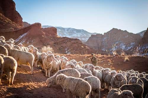 mammal photo of herd of sheep sheep