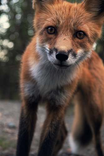 wildlife photo of red fox fox