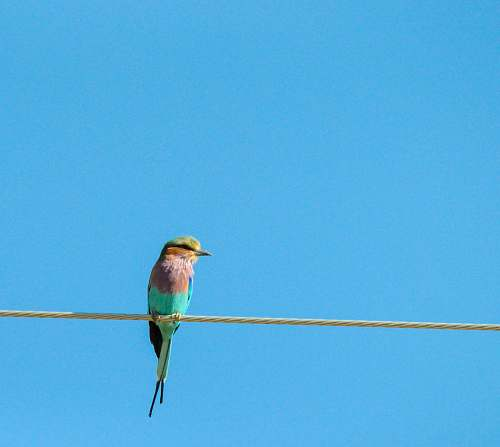 bird photography of blue and pink Bee-eater bird perching on wire bee eater