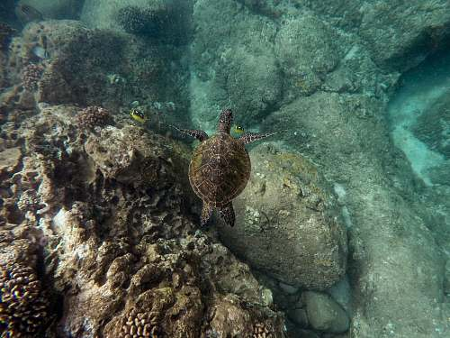 sea life photography of brown turtle turtle