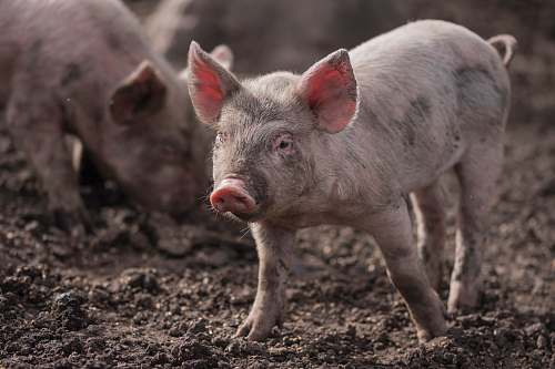 mammal piglets on mud pig