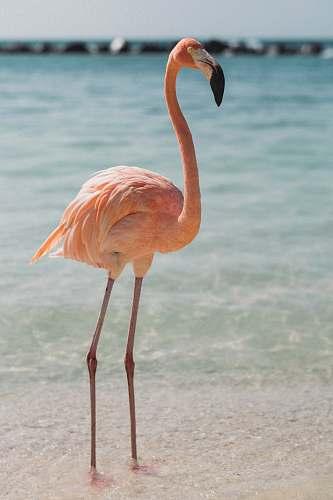 bird pink flamingo beside body of water beak