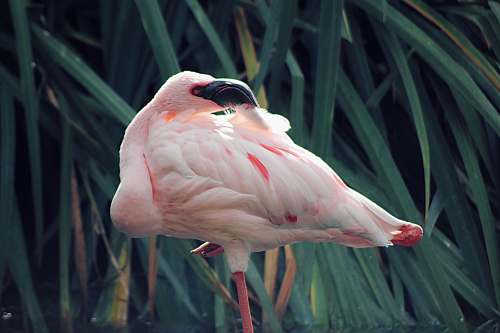 photo bird pink flamngo infront of green grass flamingo free for commercial use images