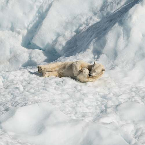 lion polar bear lying on ice wildlife