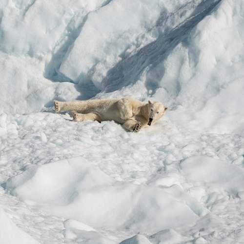 mammal polar bear lying on snow field wildlife