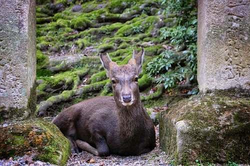 mammal prone lying deer kangaroo