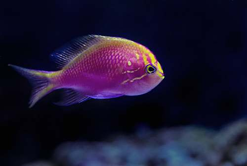 fish purple fish in closeup photography water