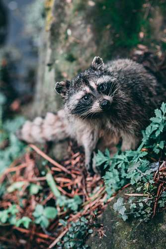 mammal raccoon beside tree trunk raccoon