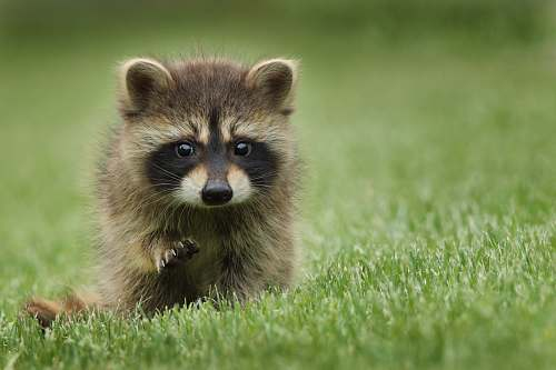 raccoon raccoon walking on lawn grass mammal