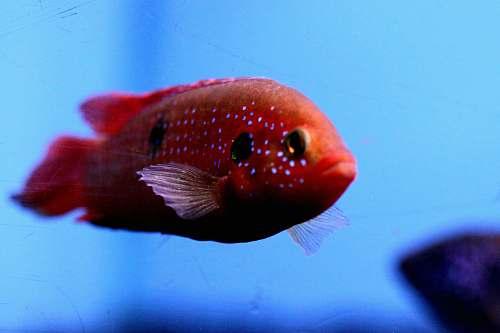 fish red flowerhorn fish water