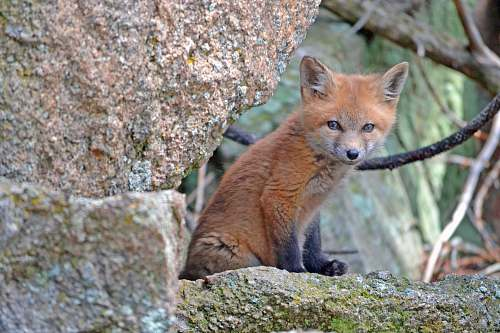 mammal red fox near brown rock fox
