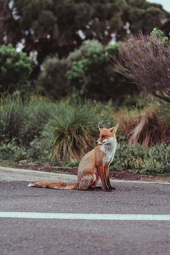 wallaby red fox on concrete road mammal