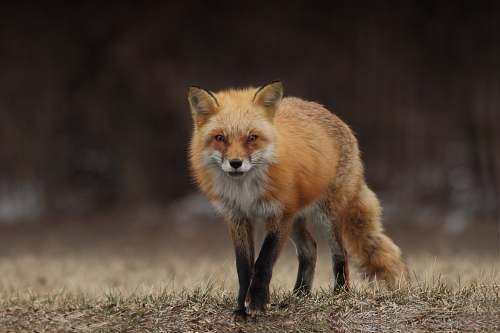 wildlife red fox fox