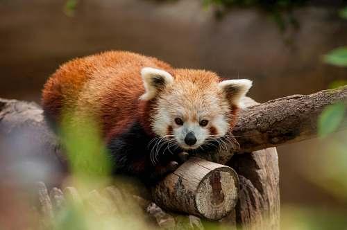 wildlife red panda lying on brown log mammal