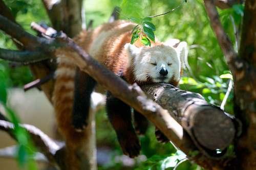 mammal red panda lying on brown tree branch wild