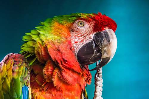 photo bird red, yellow, and green parrot macaw free for commercial use images