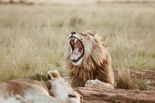 lion roaring lion on field wildlife