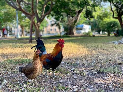 bird rooster and hen chicken