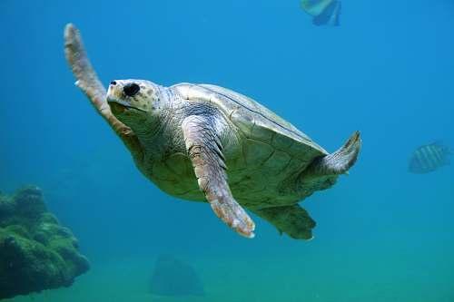 turtle sea turtle under water sea